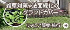 リッピア(ヒメイワダレソウ) ユートリピア